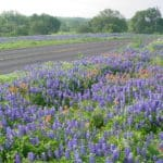 Texas Hill Country Blue Bonnets